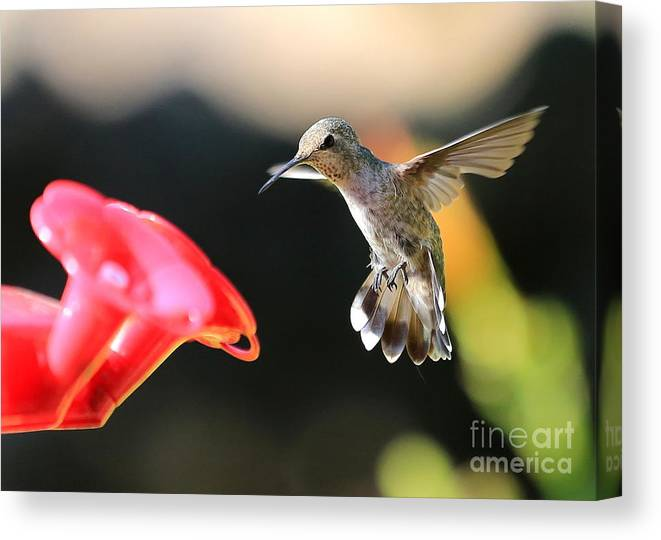 Happy Canvas Print featuring the photograph Happy Hummingbird by Carol Groenen