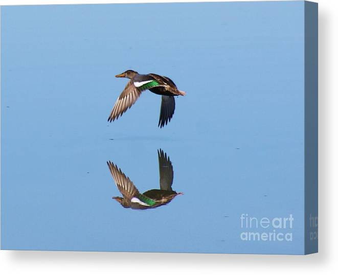 Duck Canvas Print featuring the photograph Immaculate Reflection by John Kolenberg