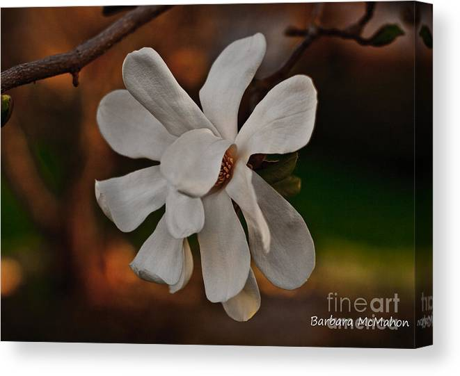 Flowers Canvas Print featuring the photograph Magnolia Bloom by Barbara McMahon
