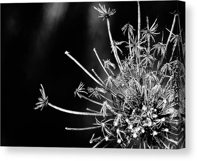 Queen Anne's Lace Canvas Print featuring the photograph Queen Anne's Lace - 2 by John Girt