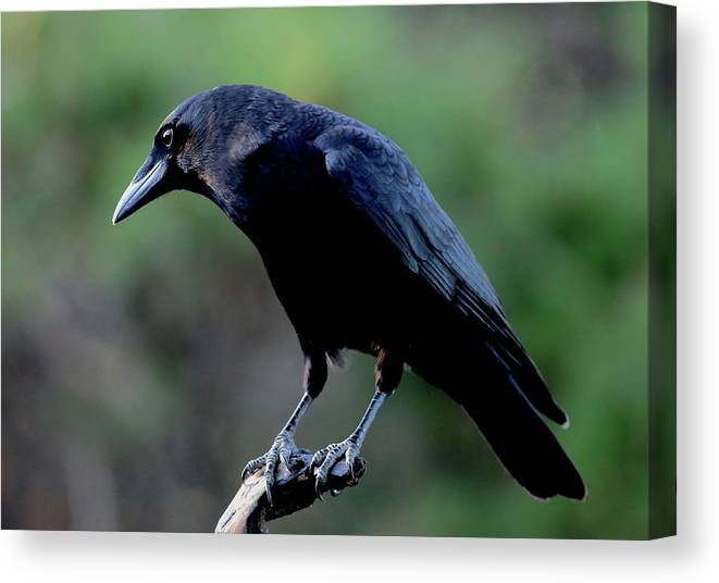Bird Canvas Print featuring the photograph American Crow In Thought by Daniel Reed