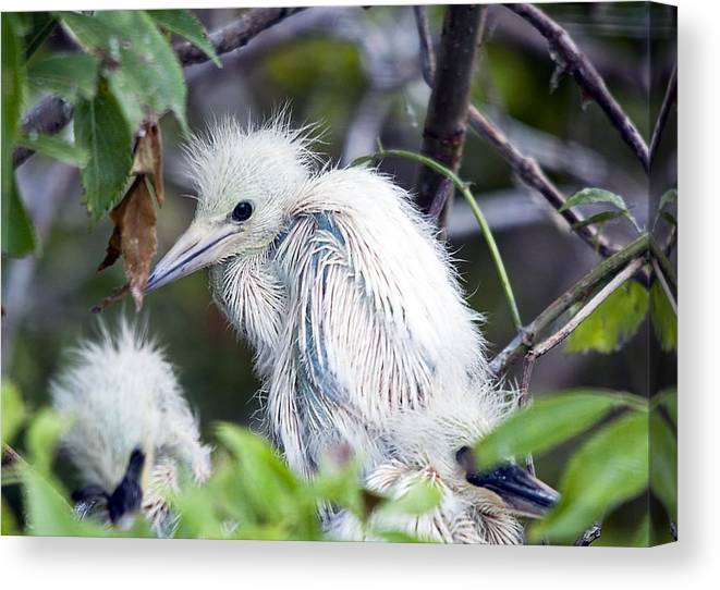 Bird Canvas Print featuring the photograph Baby Egret by Kenneth Albin