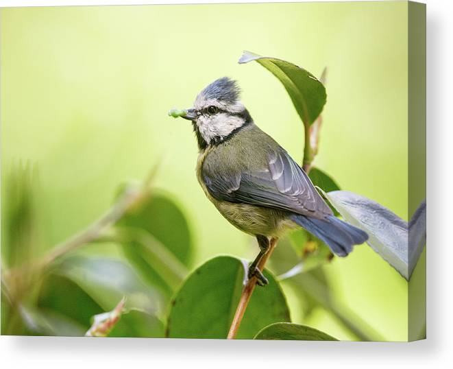 Blue Tit Canvas Print featuring the photograph Blue Tit With Caterpillar by Alan Grant