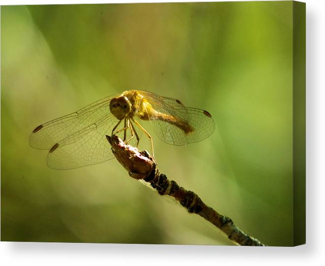 Dragonfly Canvas Print featuring the photograph Dragonfly Perched by Jeff Swan