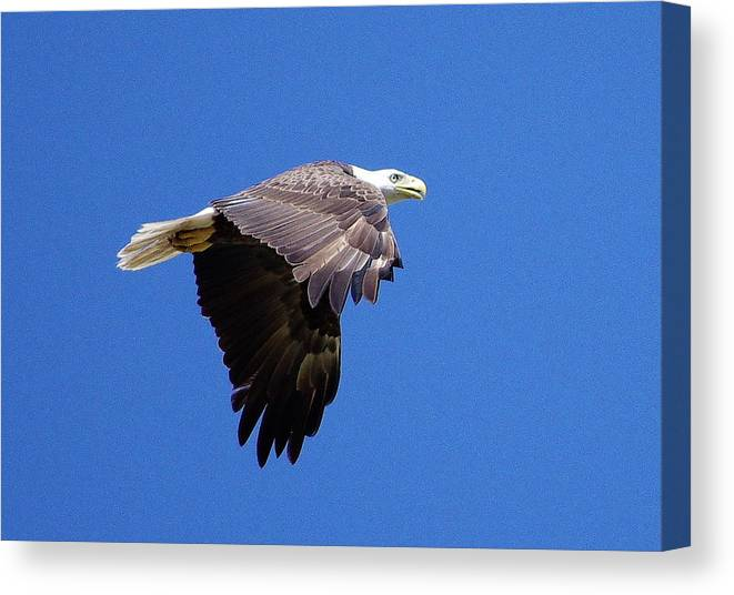 Eagle Canvas Print featuring the photograph Eagle In Flight by Don Youngclaus