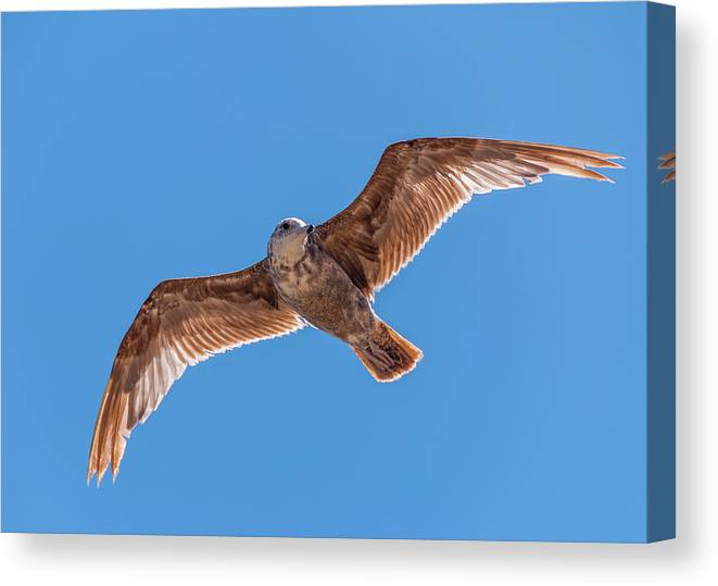Animal Canvas Print featuring the photograph Flying Gull by Marv Vandehey
