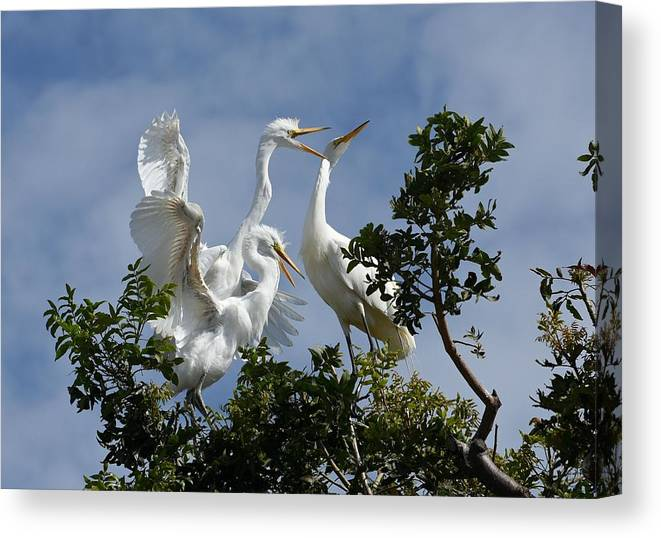 Great Egrets Canvas Print featuring the photograph Food Competition by Fraida Gutovich