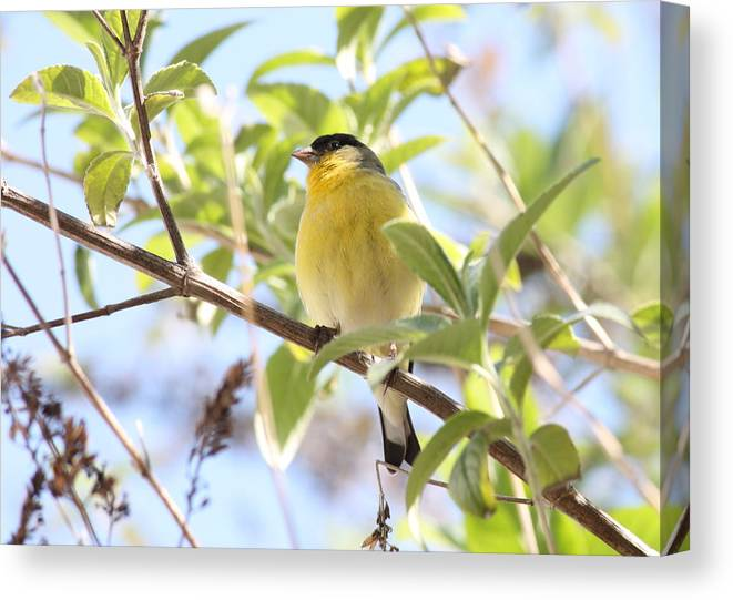 Bird Canvas Print featuring the photograph Goldfinch In Spring Tree by Carol Groenen