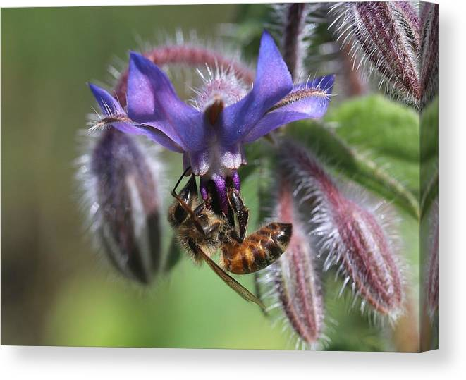 Honey Bee Canvas Print featuring the photograph Honey Bee On Borage by Lucinda VanVleck