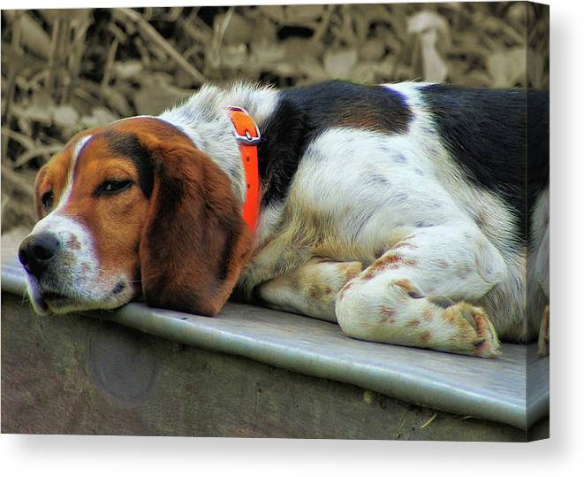 Dog Canvas Print featuring the photograph Hound Dog by JAMART Photography