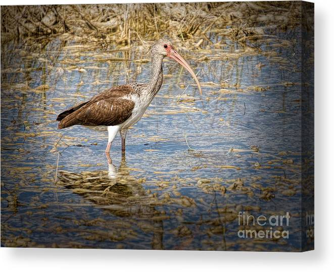 Everglades Canvas Print featuring the painting Ibis In The Rough by Judy Kay