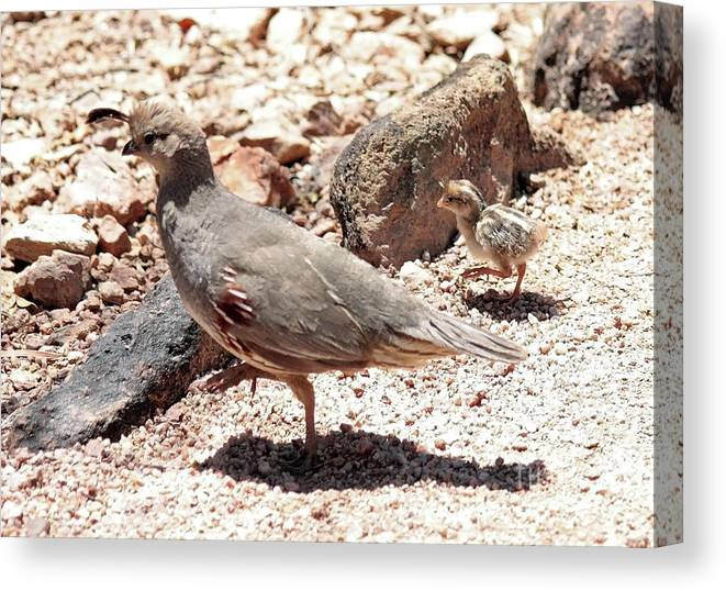 Mama And Baby Quail In The Desert Canvas Print Canvas Art By Carol