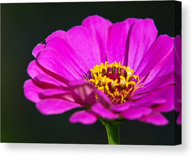 Flower Canvas Print featuring the photograph Purple Flower Close Up by Edward Myers