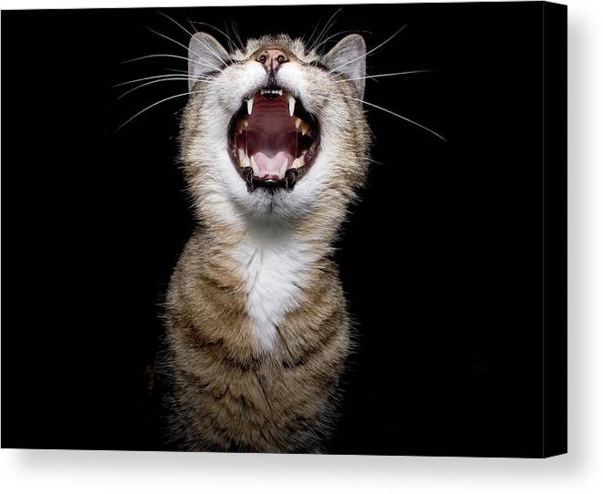 Cat Canvas Print featuring the photograph Scream by Ken Norcross