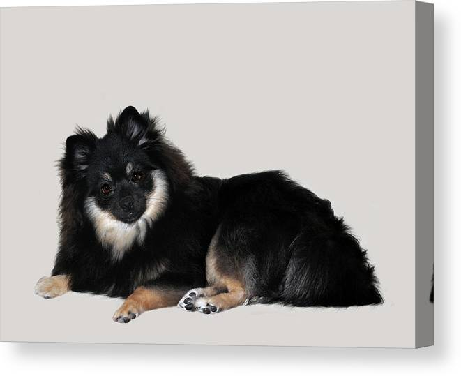 Dogs Canvas Print featuring the photograph Show Girl by Laurie Schneider