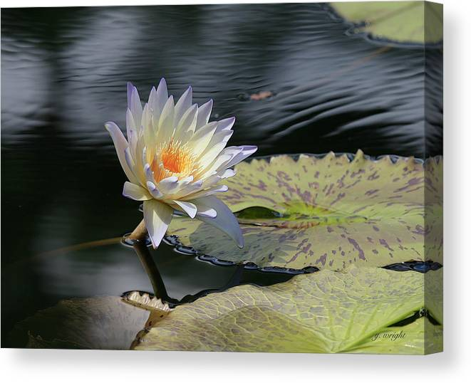 Water Lily Canvas Print featuring the photograph Sun Kissed Allure by Yvonne Wright