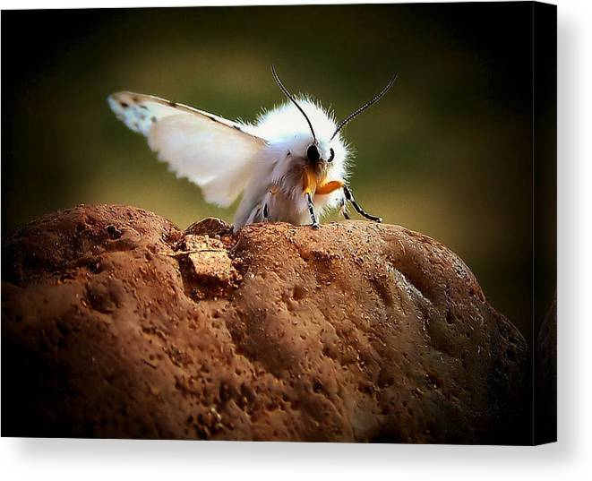 Moth Canvas Print featuring the photograph Tiger Moth by Karen Scovill