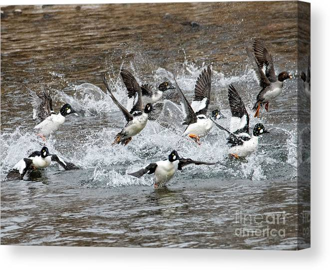 Goldeneyes Canvas Print featuring the photograph Blast Off by Mike Dawson