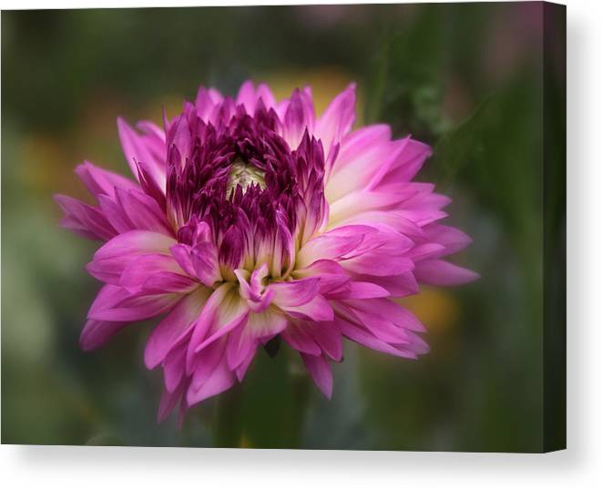Dahlia Canvas Print featuring the photograph Dahlia Charm by Jessica Jenney