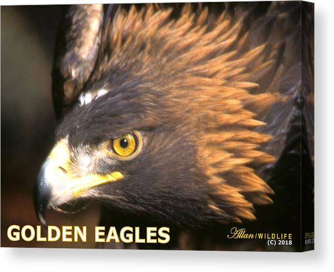 Eagles Canvas Print featuring the photograph Golden Eagles Mascot 10 by Larry Allan