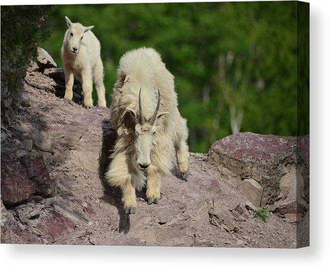 Mountain Goats Canvas Print featuring the photograph Mountain Goats- Nanny And Kid by Whispering Peaks Photography