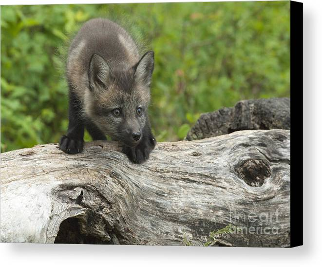 Fox Canvas Print featuring the photograph Red Fox Kit by Sandra Bronstein