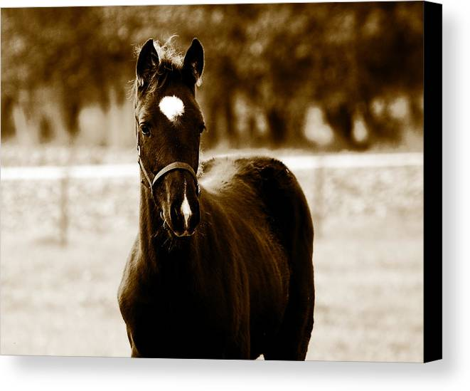 Horse Canvas Print featuring the photograph Horses by Rene Larsen