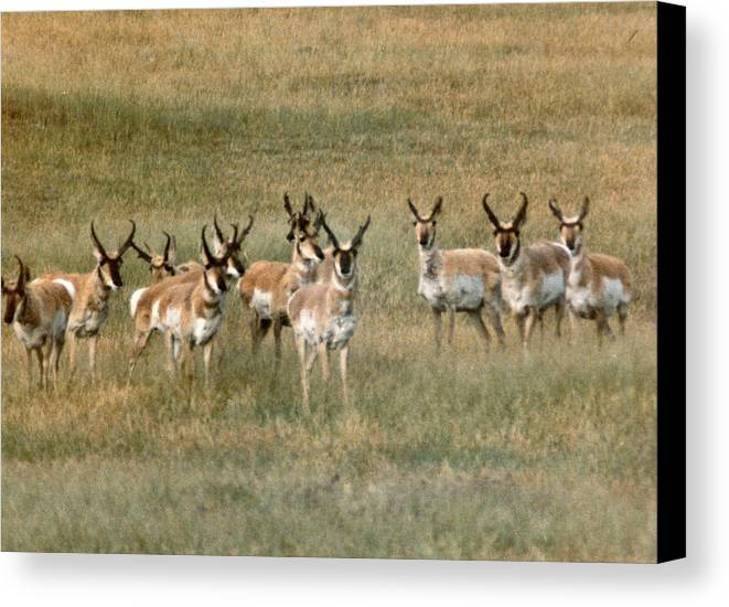 Antelope Canvas Print featuring the photograph Antelope by Vaswaith Elengwin