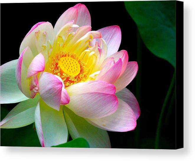 Chanticleer Garden Canvas Print featuring the photograph Blooming Lotus Flower by Neomi Haut