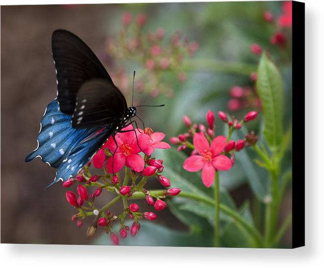 Blue Swallowtail Butterfly Canvas Print featuring the photograph Blue Swallowtail Butterfly by Saija Lehtonen