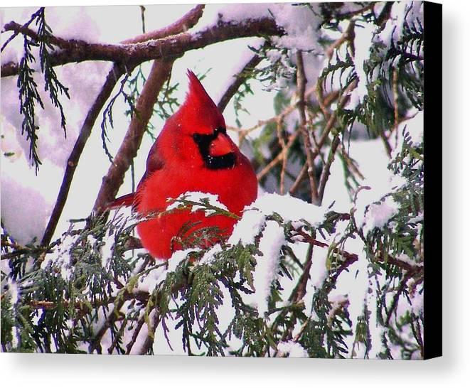 Cardinal Canvas Print featuring the photograph Cardinal Snowbound by William Fox