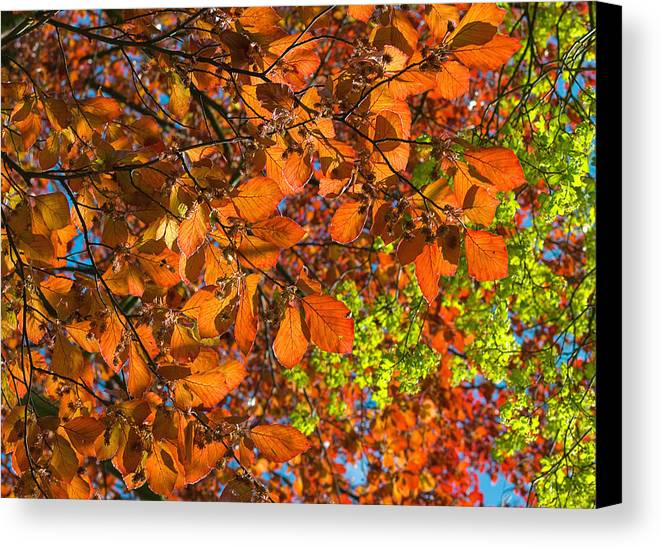 Copper Canvas Print featuring the photograph Copper Beech by Victor Burnside