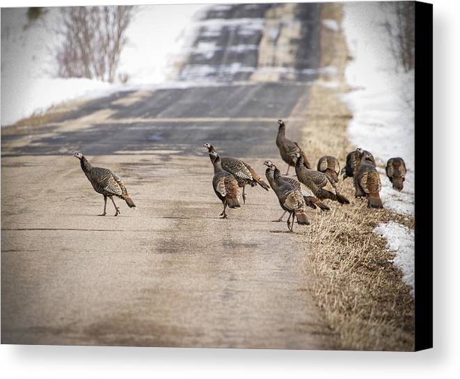 Eastern Wild Turkey (meleagris Gallopavo Silvestris) Canvas Print featuring the photograph County Road Crew by Thomas Young