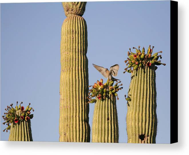 Saguaro Canvas Print featuring the photograph Desert Splendor by Wendi Curtis
