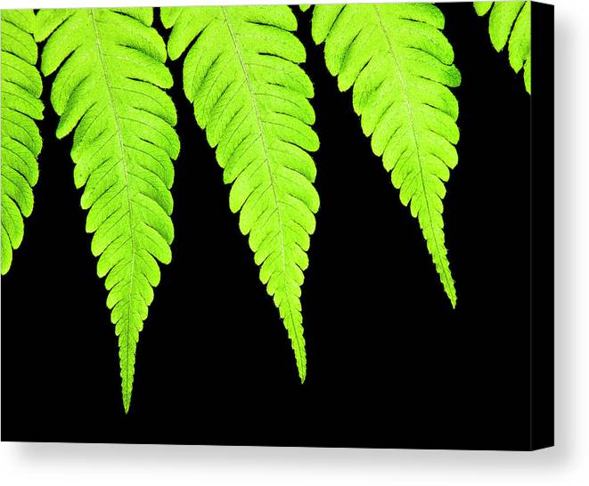 Backdrop Canvas Print featuring the photograph Fern Isolated On Black Background by Design Pics Vibe