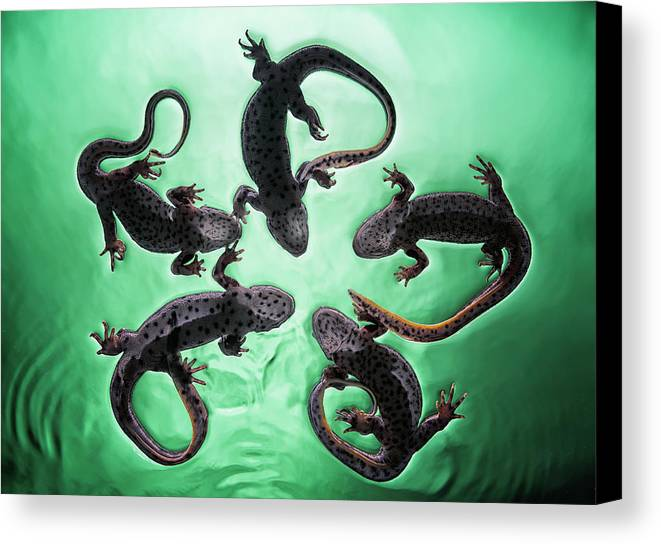 Newt Canvas Print featuring the photograph Newts Pleurodelinae On The Surface by Ben Welsh