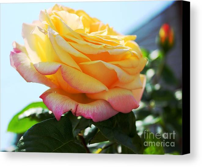 Rose Canvas Print featuring the photograph Peace Rose Kissed By The Sun by Judy Palkimas