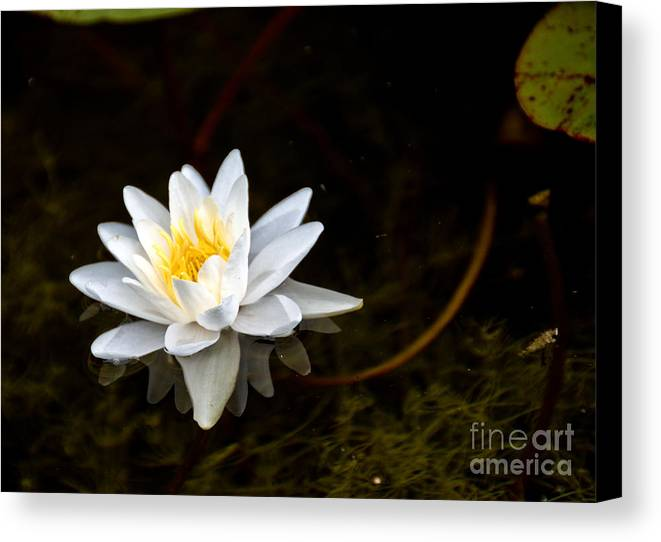 Lily Canvas Print featuring the photograph Water Lily by Cheryl Baxter