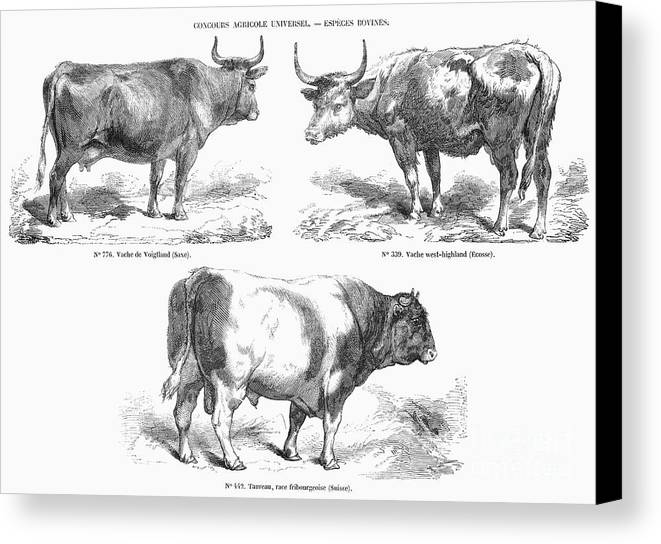 1856 Canvas Print featuring the photograph Cattle Breeds, 1856 by Granger