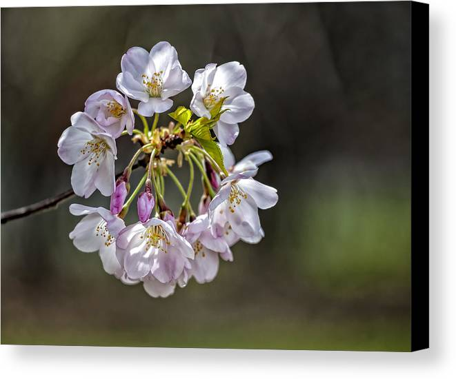 Cherry Blossoms Canvas Print featuring the photograph Cherry Blossoms by Robert Ullmann