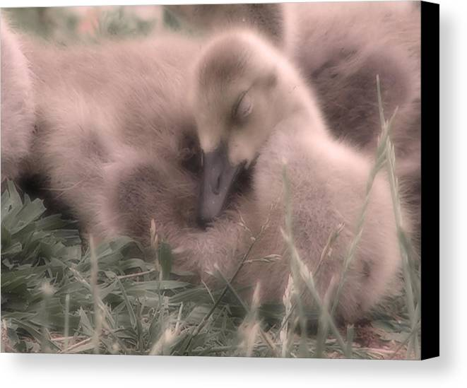 Goose Canvas Print featuring the photograph All Is Right In My World by Kenneth Krolikowski