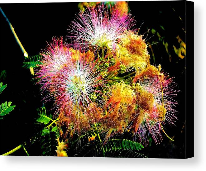 Nature Canvas Print featuring the photograph Care For A Mimosa by Johann Todesengel