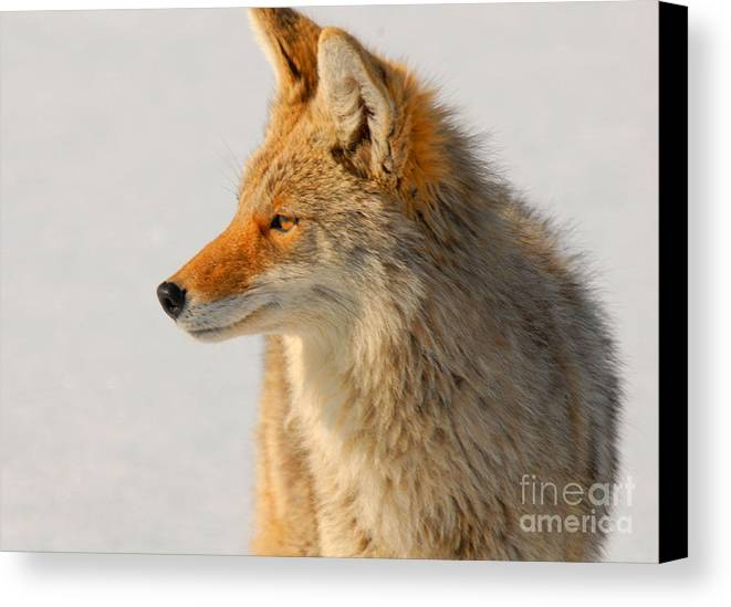 Coyote Canvas Print featuring the photograph Coyote by Dennis Hammer