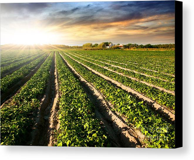 Agricultural Canvas Print featuring the photograph Cultivated Land by Carlos Caetano