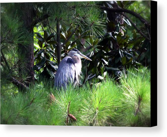 Heron Canvas Print featuring the photograph Heron On Pinetree by Inho Kang