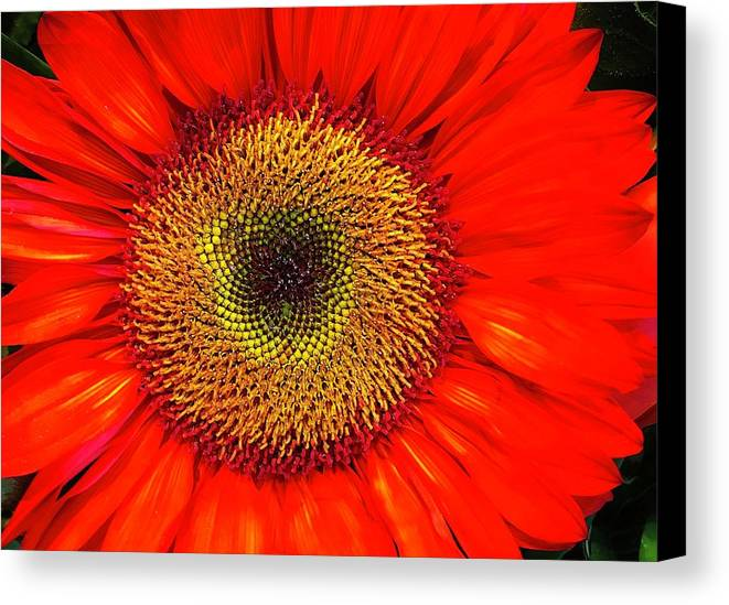 Flora Canvas Print featuring the photograph Orange Sunflower by Bruce Bley