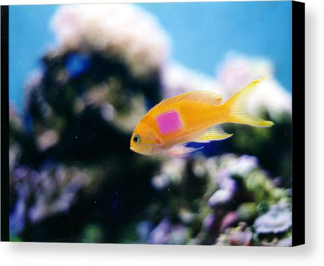 Pink Square Anthias Canvas Print featuring the photograph Pink Square Anthias Part II by Steve Heit