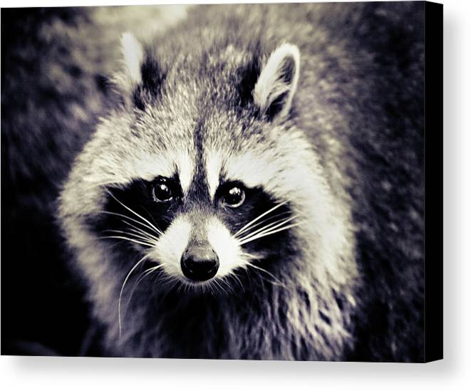 Horizontal Canvas Print featuring the photograph Raccoon Looking At Camera by Isabelle Lafrance Photography