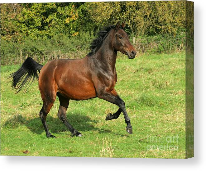 Horse Canvas Print featuring the photograph Take-off by Angel Ciesniarska