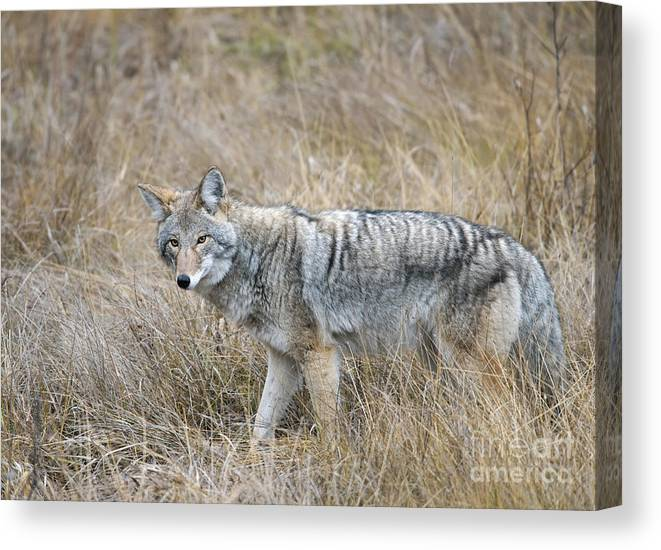 Coyote Canvas Print featuring the photograph Coyote Glare by Shannon Carson